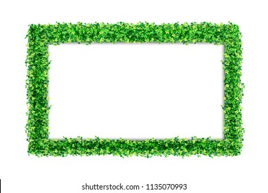 Many Green Ficus pumila leaves and blank Photo frame isolated on white background.