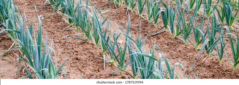 Many Green garlic plants growing on field, close up. Gardening  background with garlic green leaves, closeup banner