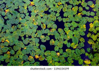 Many green water lilies leafs seen from above. Decorative pattern of leafs and water.