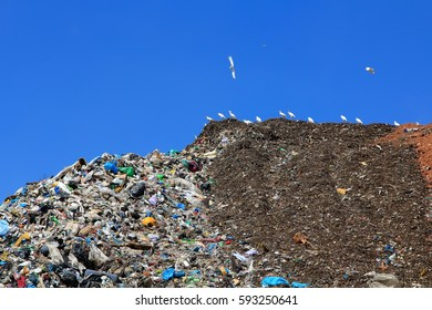 many gulls on a huge mountain of trash