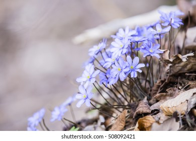 Many of Hepatica on the brown autumn leaves with blurred background