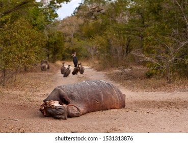 Many Hippo succumb to injuries received when fighting other hippos, This sub-adult bull died during the night on a track leading into camp.
