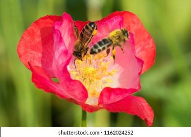 many honey bees in poppy flower