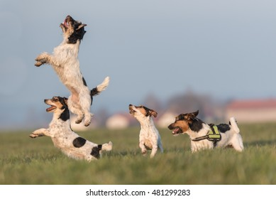 many jack russell making action on the meadow