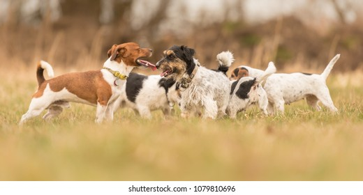 Many Jack Russell Terriers - a pack of dogs is in the grass in early spring