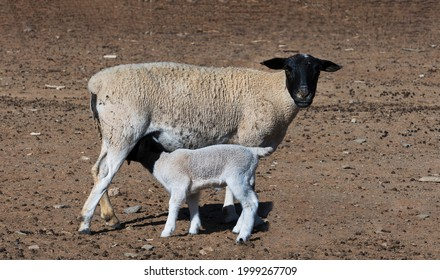 """Many Karoo farmers in the drought-stricken area feed their sheep in """"kraals"""". A Dorper lamb drinks milk from his mother here."""