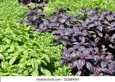 many kinds of basil (green, purple)