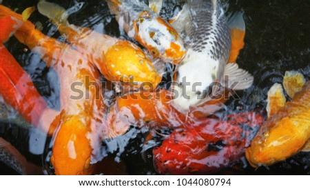 Many Koi Carp fish in a pond