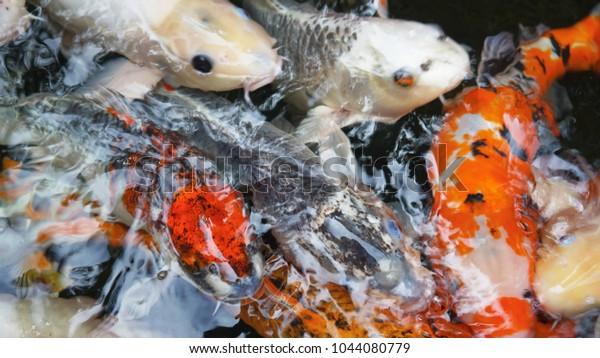 Many Koi Carp fish in a pond