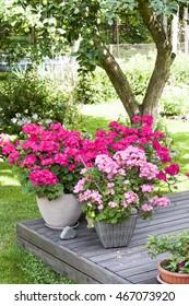 Many large blooming pink pelargonia flowers