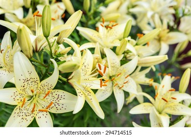 Many large flowers of light yellow mottled lilies outdoors close-up