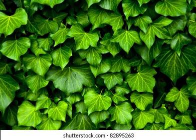 Many leafs of ivy cover a wall