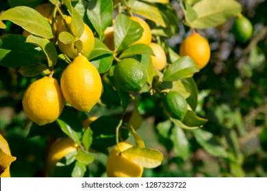 Many lemons & lime, Asturias.