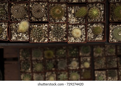 Many Little Cacti in Tiny Pots Overhead Shot