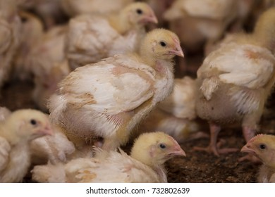 many little chicks on a chicken farm