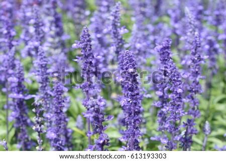 Many Little Purple Flowers Garden Stock Photo Edit Now 613193303