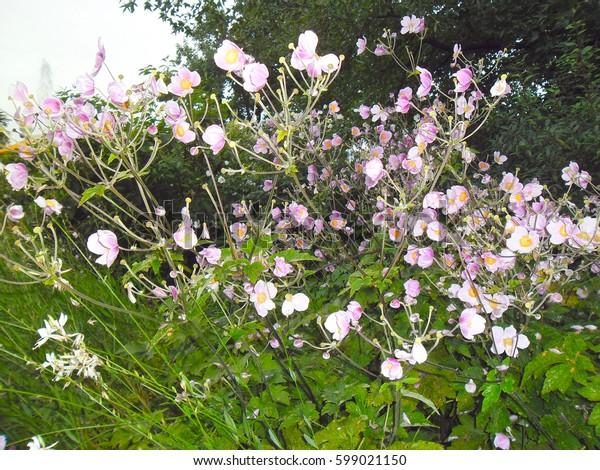 Many Little Rose Flowers