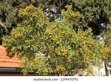 Many loquat fruit on branches