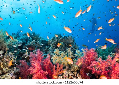Many lyretail anthias (Pseudanthias squamipinnis) on the reef, small fish with bright orange body. With colorful coral and a silhouette of a diver in the background.