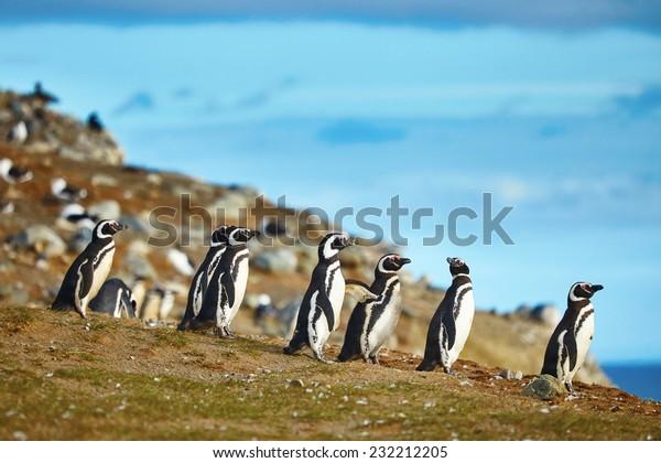 Многие магеллановые пингвины в природной среде на острове Магдалена в Патагонии, Чили, Южная Америка