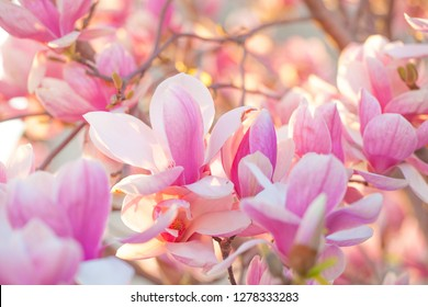 Many magnolia flowers in spring in evening light