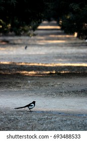 many Magpies in the boulevard of pine in a Chinese park, very quite and peaceful