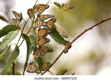 Many Monarch Butterflies (Danaus plexippus) on a tree branch. Taken near Pismo Beach in California