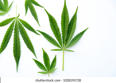 many natural fresh big and small cannabis five fingers leaves lay in chaotic. Cannabis marijuana leaf closeup background. Nature background. Vintage toned. Rich luxury happy life with cannabis.