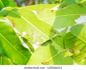 Many Oecophylla smaragdina on branch of mango tree near nest . other name weaver ant , green tree ant , and orange gaster or red ant . its white egg is famous traditional thai food .