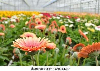 Many orange Gerbera flowers in a greenhouse. Production and cultivation flowers by Florineve in Montijo. Immense Gerbera plantation.