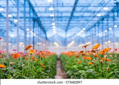 Many orange gerbera flowers in a greenhouse. Production and cultivation flowers.Gerbera plantation. Transvaal Daisy.