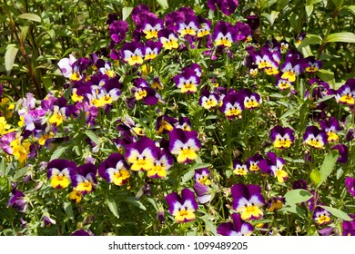 Many pansies violet and yellow colours