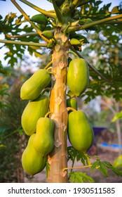 Many papaya fruit on the papaya tree.