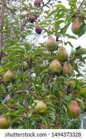many pears in tree fresh organic fruits agriculture