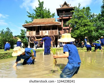 Many people or touris with kind of shirt in northern Thailand are farming at the outdoor field with wooden antique architecture on background.Nov 29,2018.Chiang Mai, Thailand.