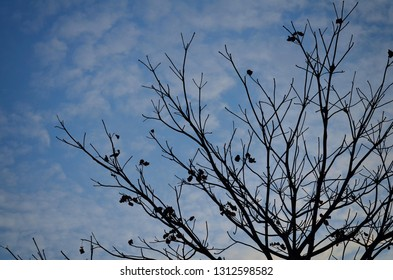 Many perennial plants that have dry branches The background is sky and clouds. Deciduous trees have only branches Beautiful, looking at it as an art.