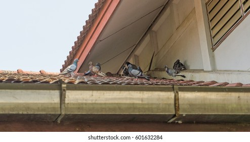 Many Pigeon on roof house