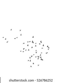 Many pigeons birds flying in the sky. Isolated. Black and white