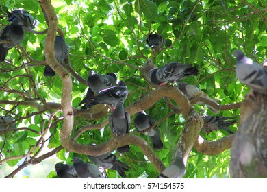 Many pigeons on the tree