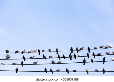 Many Pigeons resting on the cable.