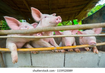Many pigs are fed in the countryside waiting for food.