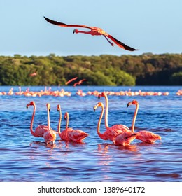 Many pink beautiful flamingos in a beautiful blue lagoon. Mexico. Celestun national park. Square image.