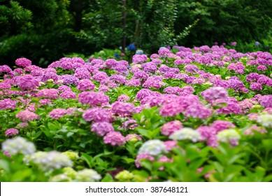 many pink hydrangeas