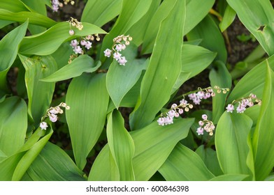 Many pink lily of valley or convallaria majalis flower in green