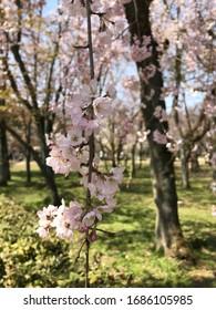 Many pink little flowers in green