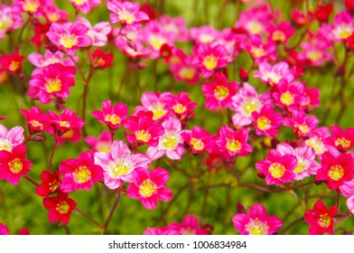 Many pink and red flowers of saxifraga  arendsii with green