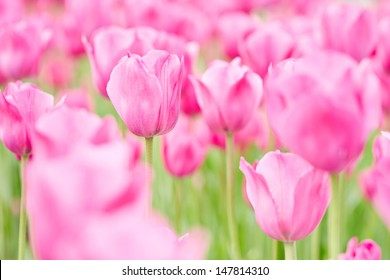 Many pink tulips blooming in spring in a field