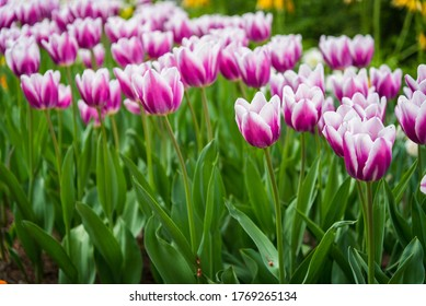 Many pink white tulips in the park in Kosice during spring. Spring blossom