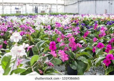 Many potted flowering plants in a garden center.