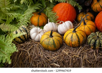 Many pumpkins put on the table for Halloween